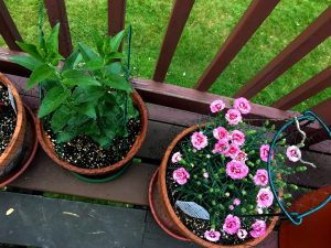 Two terra cotta pots hold plants that are green and pink