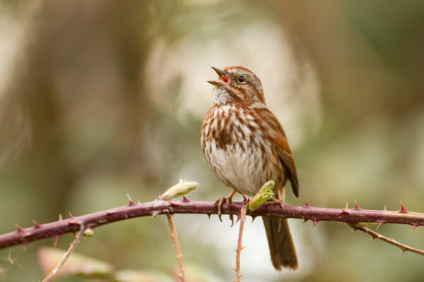 A song sparrow with white and reddish-brown feathers sings while sitting on a branch with thorns.