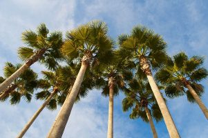 Looking up at a group of palm trees with blue sky in the background.