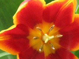 Close-up of a bright orange-red tulip with purple bell flowers, both covered in giant dew drops.