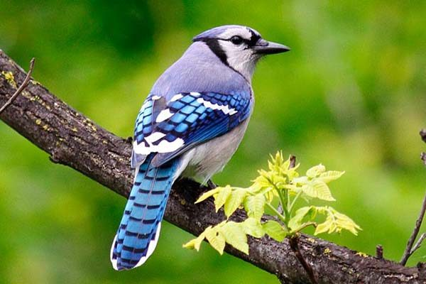 Close-up of a blue jay